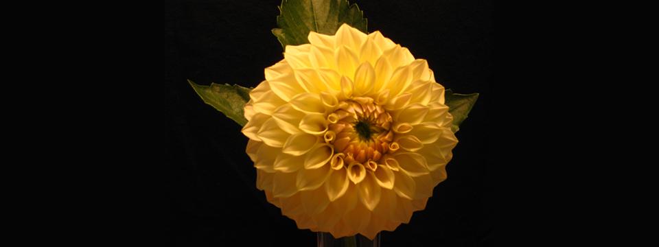 http://www.ramonaluengen.com/wp-content/uploads/2013/01/2008-Dahlia-Hybrid-personally-named-after-Ramona.-Originator-Gordon-Stach..jpg